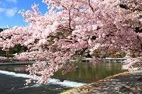 京都府 京都市 嵐山 桜