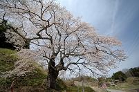 是哉寺 地蔵桜
