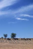 南アフリカ ゲムズボック