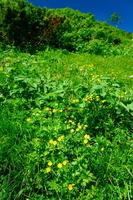 長野県 シナノキンバイ・高山植物のお花畑
