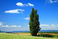 北海道 ケンとメリーの木