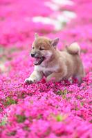 柴犬と芝桜 犬