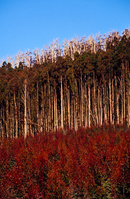オーストラリア ユーカリの植林