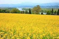 長野県 飯山市 菜の花
