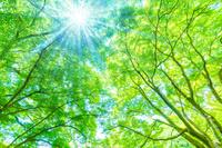 新緑のカエデ もみじと木漏れ日