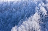 福島県 霧氷のカラマツ林