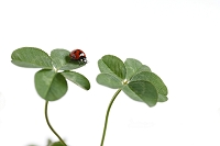 てんとう虫と四つ葉と五つ葉のクローバー
