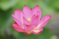 ピンク色のハスの花