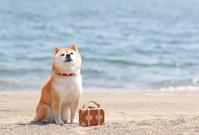 砂浜でくつろぐ豆柴犬