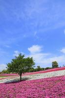 群馬県 八王子山公園の芝桜