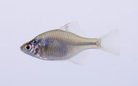 タイリクバラタナゴ Rhodeus ocellatus ocellatus