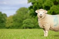 カメラを見つめる羊