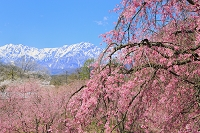 長野県 立屋の枝垂れ桜と残雪の北アルプスの山並み
