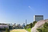 東京都 上智大学グラウンドと桜