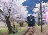 静岡県 島田市 SLと桜