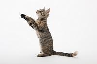 前足を上げている子猫