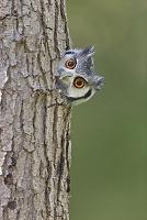 木の幹の穴から顔をのぞかせるフクロウの一種