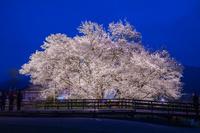 熊本県 一心行の大桜のライトアップ
