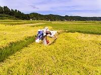 新潟県 コシヒカリの収穫