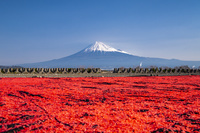 静岡県 小エビ干しと富士山