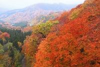 秋田県 湯沢市・栗駒 紅葉の山肌と道路
