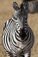 ケニア マサイマラ国立保護区 グラントシマウマ