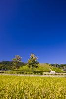 奈良県 実る稲穂と藤の木古墳