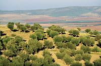 チュニジア オリーブ畑