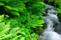 長野県 軽井沢町 オシダが茂る渓流