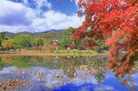 京都府 紅葉の大覚寺 大沢の池と枯れハス