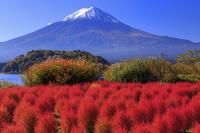 山梨県 富士山とコキア