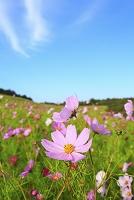 長野県 コスモスの花畑
