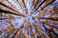 岩手県 八幡平市 紅葉のカラマツ林