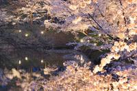 長野県 上田市 上田城千本桜まつりのライトアップ