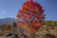 一の瀬園地 大カエデの紅葉
