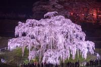 ライトアップの滝桜