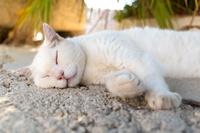 クロアチア 熟睡する白猫
