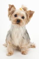 ヨークシャーテリアの成犬