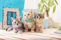 アメリカンショートヘア マンチカン ソマリの子猫