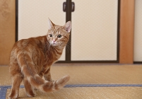 アメリカンショートヘア 猫