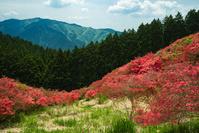 奈良県 葛城山 つつじ