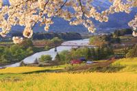長野県 飯山市 桜と菜の花畑と千曲川と大関橋