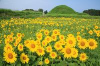 福岡県 福津市 新原・奴山古墳群のひまわり畑
