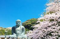 神奈川県 鎌倉市 春の大仏と桜