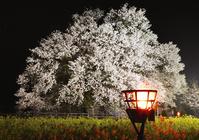 熊本県 夜の一心行の大桜