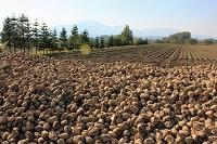 北海道 ニセコ連峰と収穫したビートの山