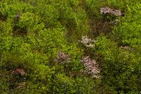神威山の蝦夷山桜