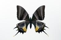 蝶 標本 テングアゲハ タイ