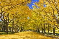 東京都 昭和記念公園の銀杏並木