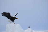 氷山で羽撃くオオワシ